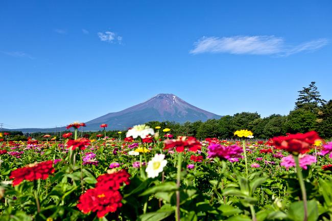 山中湖花の都公園の富士と百日草 10071904.jpg