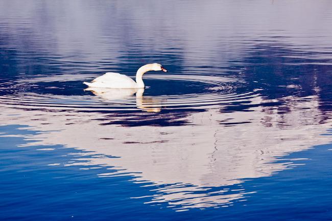 山中湖の白鳥と富士 10050213.jpg