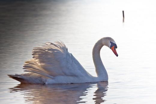 山中湖の白鳥と富士 10050227.jpg