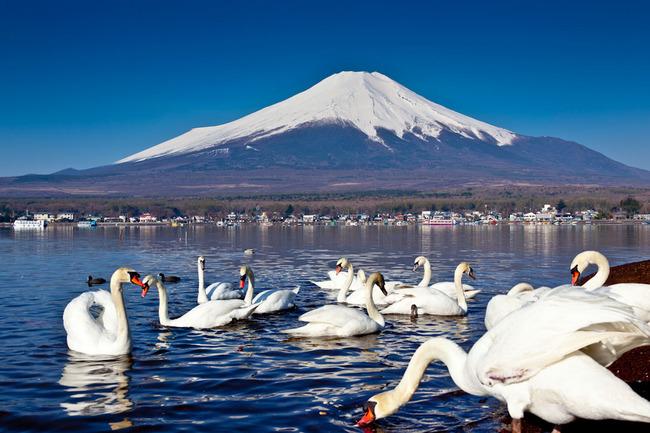 山中湖の白鳥と富士 10050244.jpg