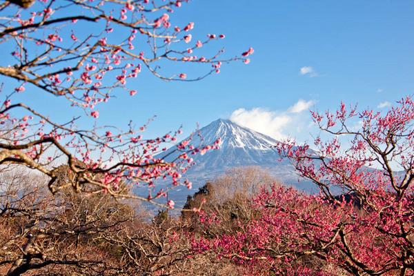 岩本山公園 梅と富士 10020628.jpg