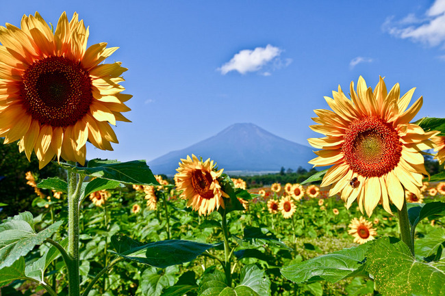 花の都 ひまわりと富士 09081605.jpg