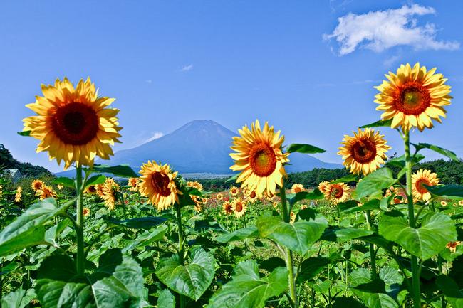 花の都 ひまわりと富士 09081607.jpg